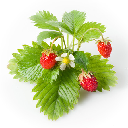 group of plants: Wild strawberry isolated on white Stock Photo
