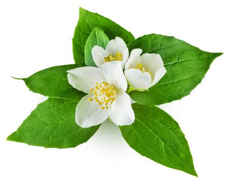 jasmine flower: Jasmine flower with leaves on white background