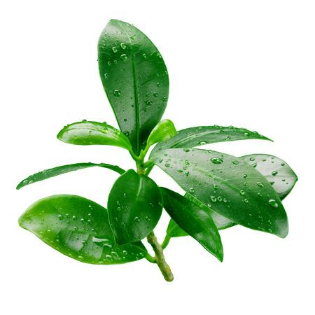 방울 (오렌지, 레몬, 자몽, 석류)에 격리 잎 스톡 콘텐츠