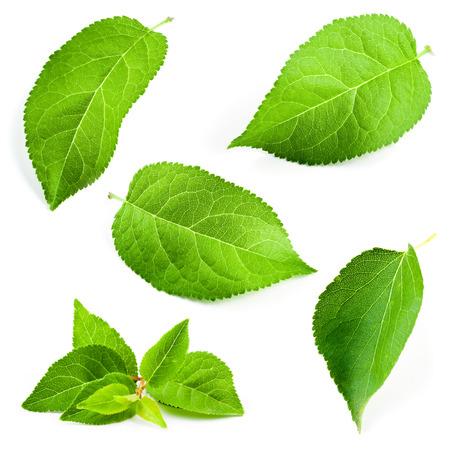 Abrikoos bladeren geïsoleerd op een witte achtergrond Stockfoto