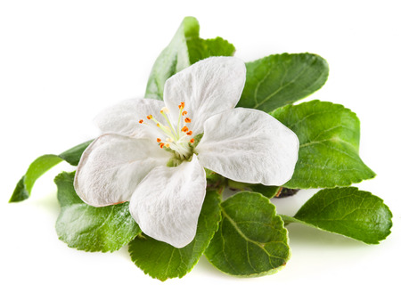 apple blossom: apple flower isolated on white. with clipping path Stock Photo