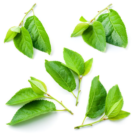 Plum leaves isolated on white background