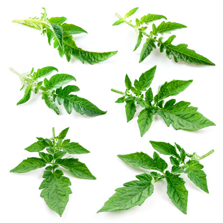 Tomato leaves isolated on white, collection