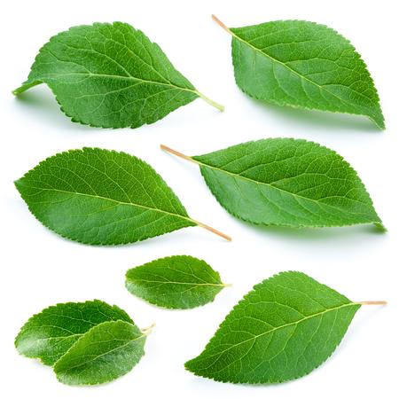 Plum bladeren geïsoleerd op een witte achtergrond Stockfoto