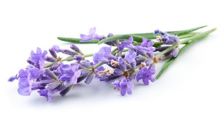 flores moradas: Manojo de flores de lavanda en el fondo blanco