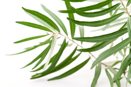 foglie ulivo: oliva fresca lascia isolato su sfondo bianco. Focalizzazione morbida