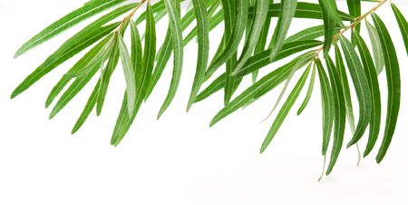 foglie ulivo: Fresh olive leaves isolated on white background
