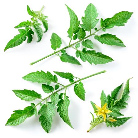 Tomaat bladeren geïsoleerd op wit, collectie Stockfoto - 54252934