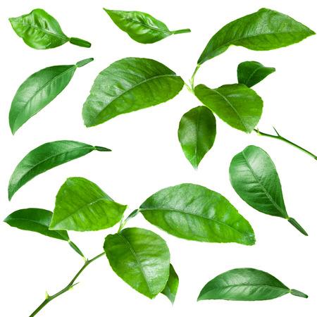 feuilles arbres: Citrus feuilles isolées sur fond blanc. Collection