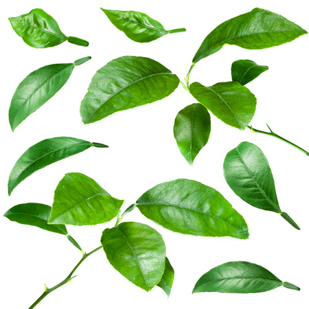water on leaf: Citrus leaves isolated on white background. Collection