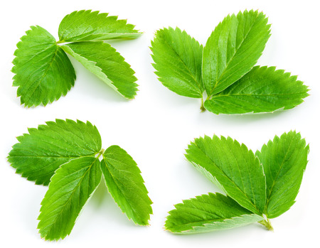 Strawberry leaves isolated on white background