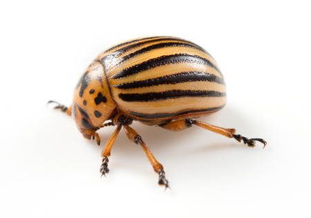 damage control: Colorado beetle isolated on a white background Stock Photo