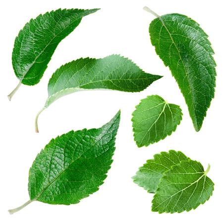 feuilles arbres: Apple a des feuilles isolées sur blanc. Collection Banque d'images