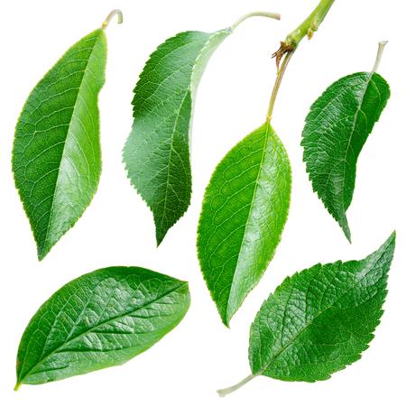 manzana: Diferentes hojas. Colecci�n sobre fondo blanco
