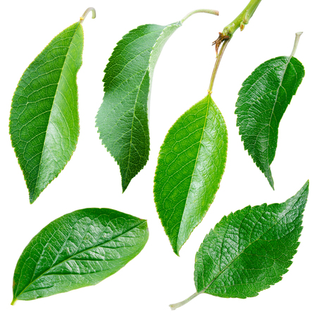Different leaves. Collection on white background Stock Photo