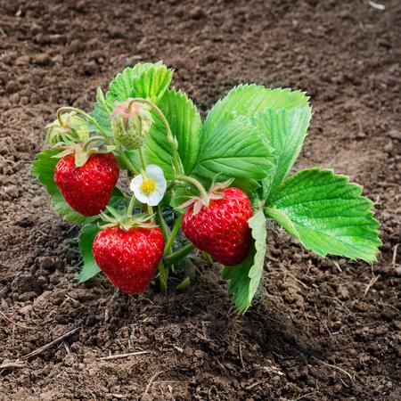 buisson: Le buisson à la fraise grandit dans le jardin Banque d'images