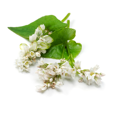 cereal plant: Buckwheat flowers and leaves isolated on white background