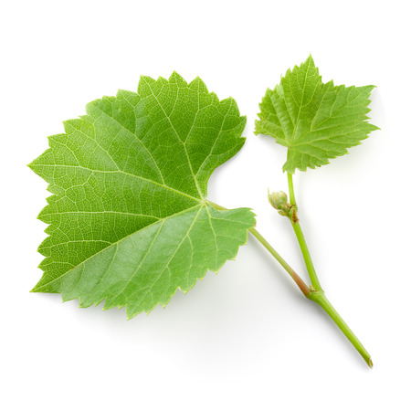 Fresh grape branch with leaves isolated on white