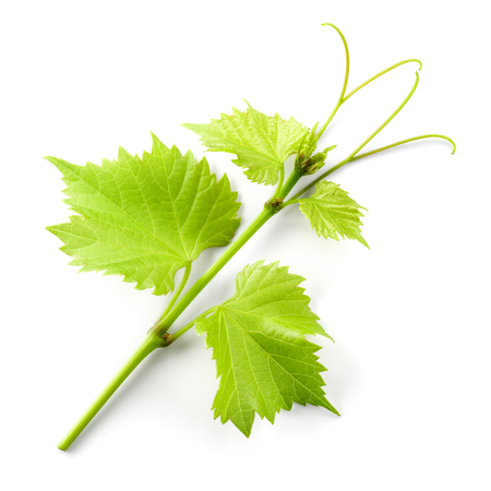 tendrils: Fresh grape branch with leaves and tendrils isolated on white