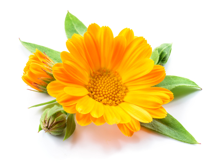 white flowers: Calendula. Flowers with leaves isolated on white