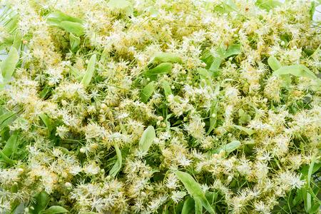 tilo: Floración de tilo. fondo verde.