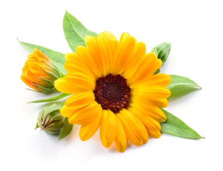 Calendula. Flower with buds and leaves isolated on white