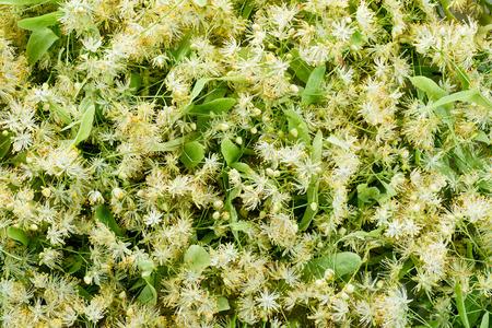 linden flowers: Linden flowers. Background. Stock Photo