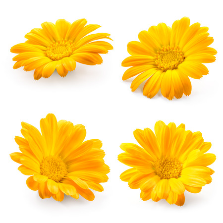 Calendula. Marigold flower isolated on white. Collection. Zdjęcie Seryjne