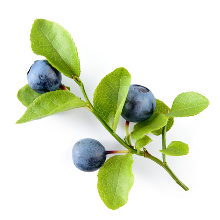 Blueberry. Branch with leaves isolated. Blueberries on white background