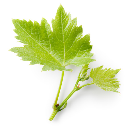 Grape leaves on branch isolated on white background.