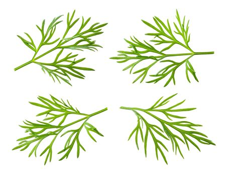 Dill. Fresh dill herb isolated on white.
