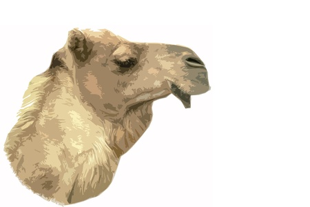 face of camel chewing cutout style in front of a white background Stock Photo