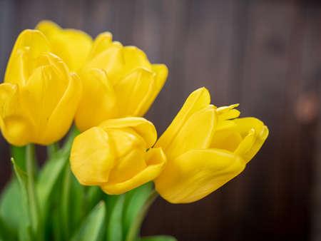 Beautiful yellow tulips close up Stok Fotoğraf