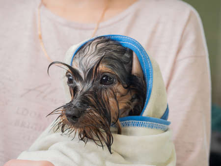 A wet little puppy wrapped in a towel sits in the owner arms.