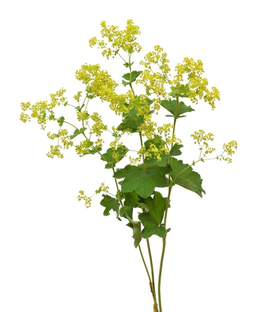 lady s: Lady s mantle Stock Photo