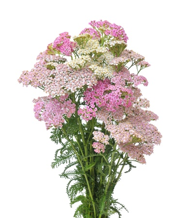 Pink  and white yarrow Stock Photo - 18180159