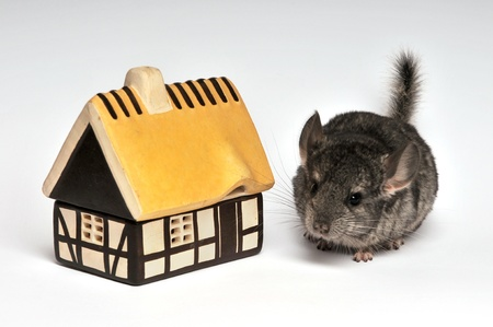 owned: chinchillas child with a small house Stock Photo