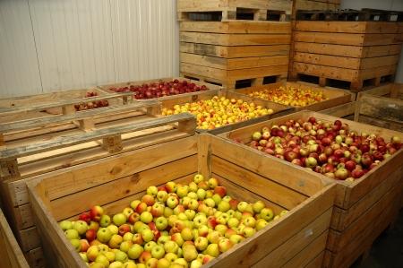 boxes of apples Standard-Bild