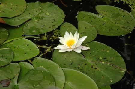 waterlily photo