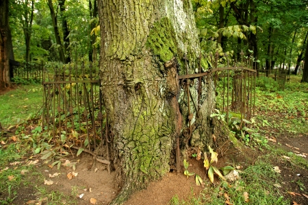 coalesce: Tree growth around iron fance