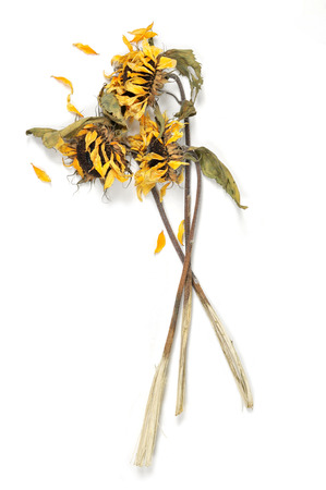 caked: Three wilted sunflowers