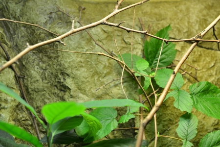 natural selection: giant stick insect  Phobaeticus serratipes