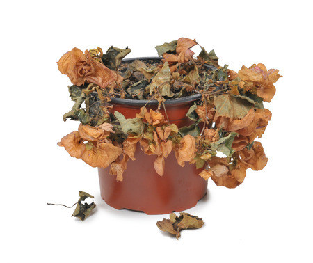 wilted: Wilted plant in flowerpot Stock Photo