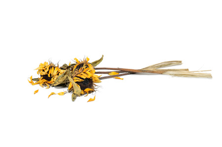 wilted: Three wilted sunflowers