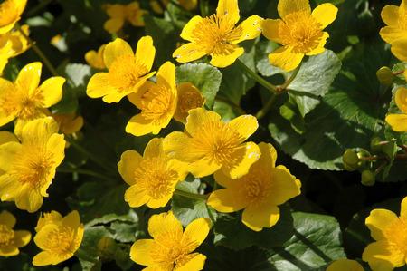 palustris: Caltha palustris flower