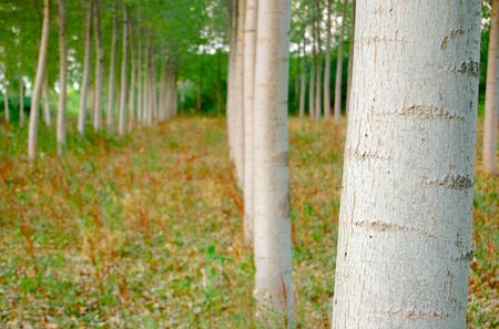 poplars: Poplars wood
