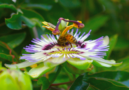 Bee on a passion flower photo