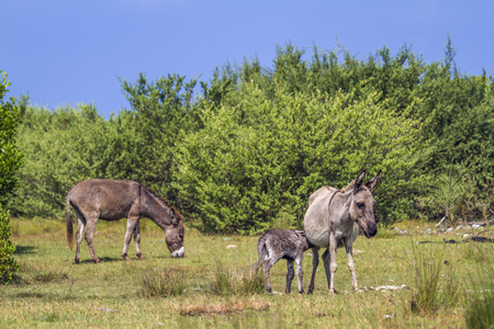 baby ass: Domestic donkey in Kalpitiya, Sri Lanka; specie Equus asinus family of equidae Stock Photo