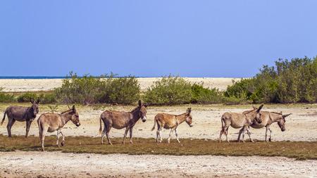 Domestic donkey in Kalpitiya, Sri Lanka; specie Equus asinus family of equidae Imagens