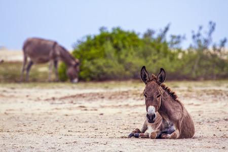 Domestic donkey in Kalpitiya, Sri Lanka; specie Equus asinus family of equidae Banco de Imagens